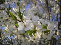 Цветки сливы just rained Стоковые Изображения RF