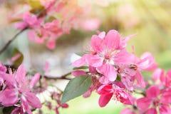 Цветки темного пинка зацветая желтый цвет весны лужка одуванчиков предпосылки полный Стоковая Фотография RF