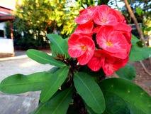 Цветки терния Христоса Стоковые Фотографии RF