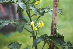 Цветки томата Стоковые Изображения