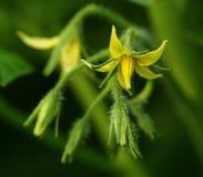 Цветки томата Стоковые Фотографии RF