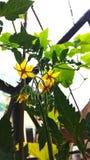 Цветки томата Стоковая Фотография