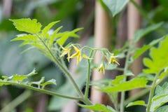 Цветки томата Стоковые Фото