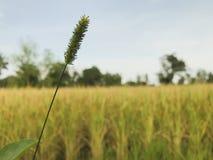 Цветки травы в полях риса стоковые фотографии rf