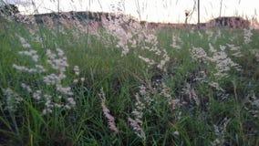 Цветки травы пошатывают вдоль ветра сток-видео