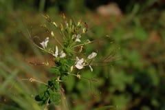Цветки травы цветня закрывают вверх Стоковое Изображение