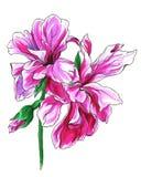 Цветки тропических sardinheiras португальские для wedding продуктов печатания Стоковые Изображения