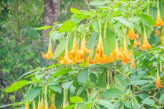 Цветки трубы желтого ангела (suaveolens Brugmansia) на дереве Стоковое Изображение