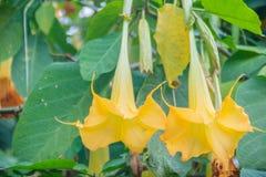 Цветки трубы желтого ангела (suaveolens Brugmansia) на дереве Стоковые Изображения RF
