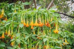 Цветки трубы желтого ангела (suaveolens Brugmansia) на дереве Стоковые Фотографии RF
