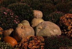 Цветки тыквы комплект состава осени предпосылки хризантем флористической Стоковая Фотография