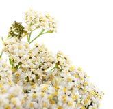 Цветки тысячелистника обыкновенного изолировали стоковые изображения rf