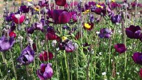Цветки тюльпана в луге видеоматериал