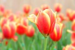 Цветки тюльпана в саде стоковое изображение
