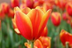 Цветки тюльпана в саде стоковые изображения