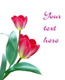 Цветки тюльпана Стоковое Фото