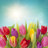 Цветки тюльпана Стоковые Фотографии RF