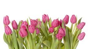 Цветки тюльпана Стоковые Изображения
