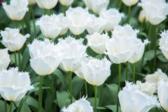 Цветки тюльпанов вал весны японии вишни предпосылки зацветая близкий флористический вверх стоковые изображения
