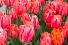 Цветки тюльпанов вал весны японии вишни предпосылки зацветая близкий флористический вверх стоковое изображение