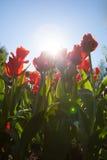 Цветки тюльпанов Стоковое Изображение RF
