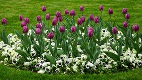 Цветки тюльпана весны Стоковое Фото