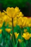 Цветки тюльпана желтого цвета Defocus Стоковое Изображение