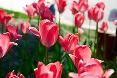 Цветки тюльпана красного цвета Стоковое Изображение