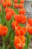 Цветки тюльпана оранжевых и белых цветков красивые в саде n Стоковое Фото