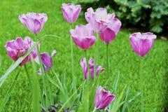 Цветки тюльпана цвета весны Стоковые Изображения