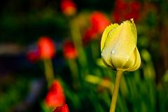 Цветки тюльпана Стоковые Фото