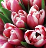 Цветки тюльпанов Букеты бело-розовых тюльпанов Предпосылка весны с тюльпанами цветков closeup иллюстрация штока