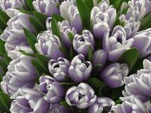 Цветки тюльпанов Букеты бело-фиолетовых тюльпанов Предпосылка весны с тюльпанами цветков closeup иллюстрация вектора