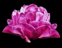 Цветки тюльпанов розовые на черноте изолировали предпосылку с путем клиппирования closeup Отсутствие теней Стоковое Изображение