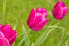 Цветки тюльпанов яркие Стоковые Изображения