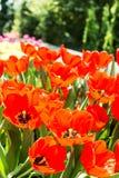 Цветки тюльпанов Стоковые Фото