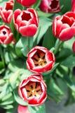 Цветки тюльпанов Стоковое Фото