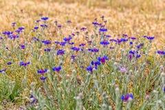 Цветки луга Pasargad голубые Стоковое Фото