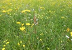 Цветки лугов лета Стоковое Изображение RF
