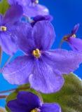 Цветки узамбарской фиалки в сини Стоковое Изображение RF