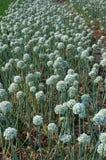 Цветки лука Стоковая Фотография