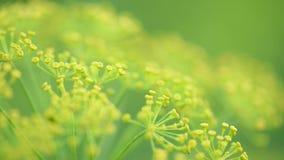 Цветки укропа в саде сток-видео