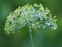 Цветки укропа с падениями дождя стоковое изображение