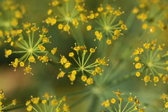 Цветки укропа Стоковые Изображения
