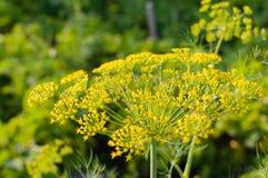 Цветки укропа Стоковое Изображение