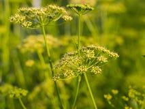 Цветки укропа Стоковое Изображение RF