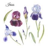 Цветки установленные радужки и листьев акварели Стоковые Изображения RF