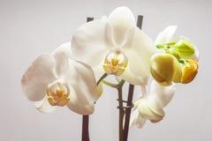 Цветки фаленопсиса Стоковые Фото
