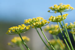 Цветки фенхеля Стоковое Фото