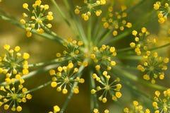 Цветки фенхеля Стоковая Фотография RF